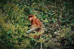 info budaya indonesia taman nasional tanjung puting, Bekantan salah satu spesisi di taman konservasi ini